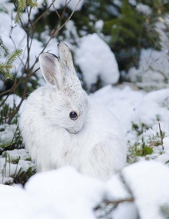 peaceful snow bunny