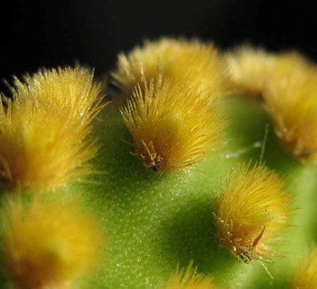 espinho da Opuntia microdasys - Pesquisa Google