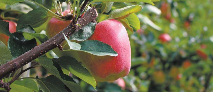 "While harvest is not yet complete, apples are coming in at larger than average sizes this year and are showing ""phenomenal colour.""  