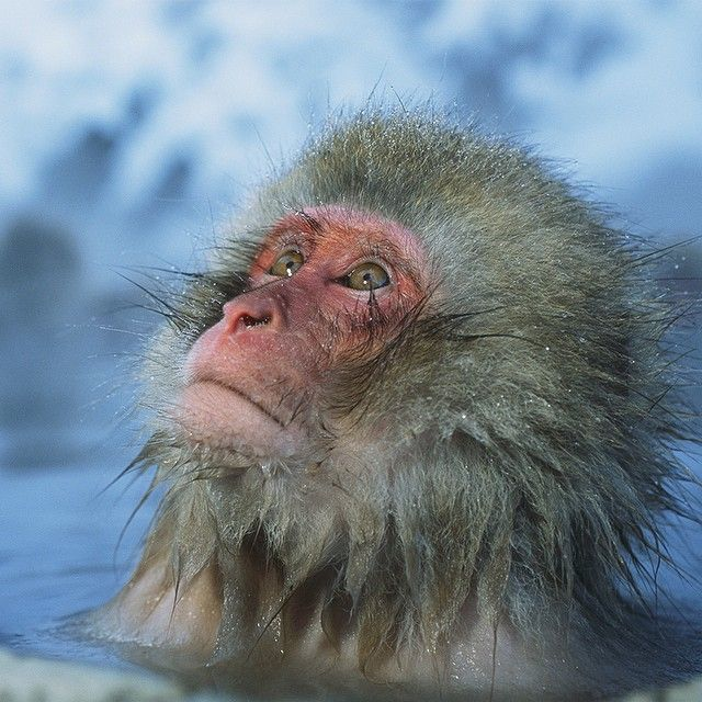 Photo by @timlaman (NatGeo Wildlife Photographer)  An adorable Japanese macaque soaks in a hot spring on Honshu Island, Japan.