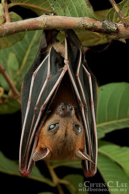 Cynopterus brachyotis. Fruit and nectar bats (family...