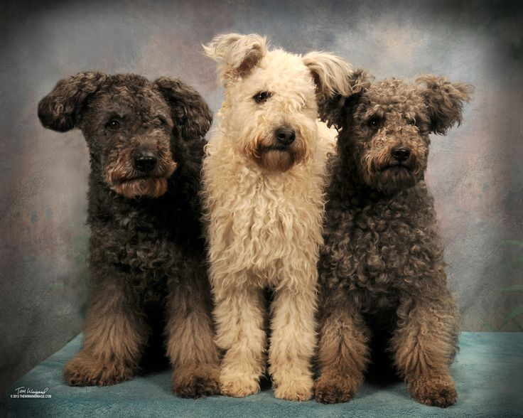 Pumi puppies -- descendants of the Hungarian Puli. Description from pinterest.com. I searched for this on bing.com/images