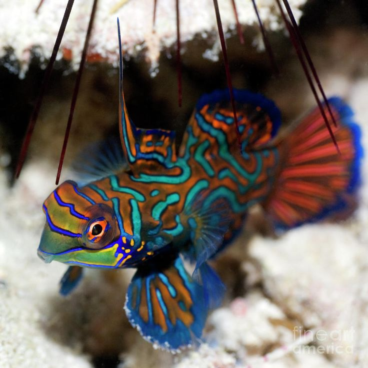 Resultados de la Búsqueda de imágenes de Google de http://images.fineartamerica.com/images-medium-large/tropical-fish-mandarinfish-mothaibaphoto-prints.jpg