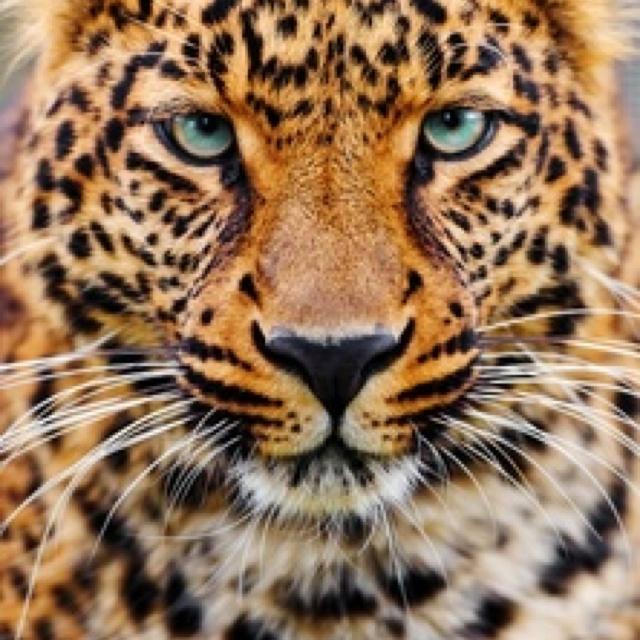 Big Cat   Big Beautiful Felines!   Pinterest   Cats and ... - photo#15