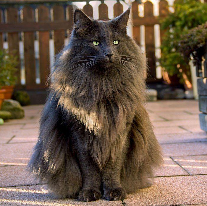 Raça de gato – Noroeguês da Floresta  Conheça a raça!