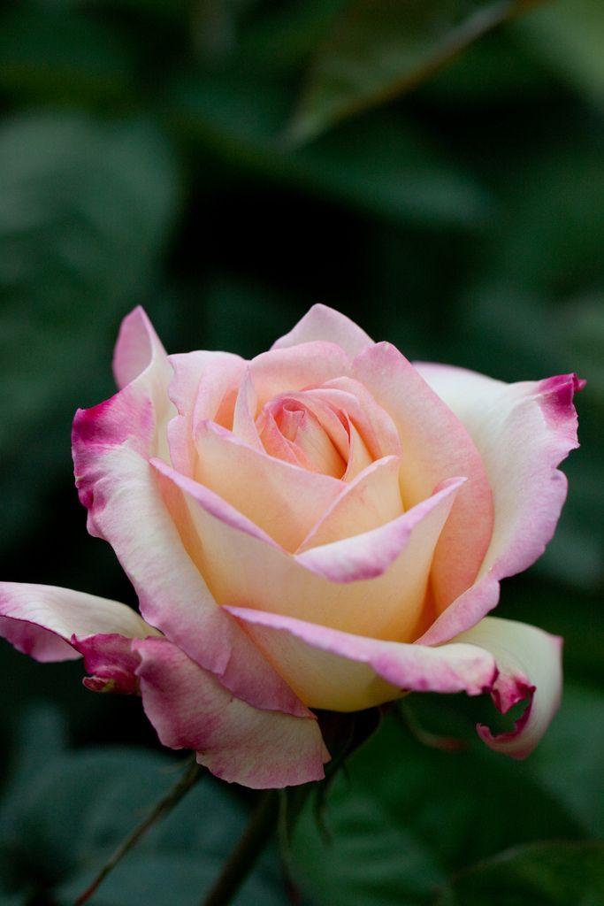'Garden Party' | Hybrid Tea Rose. Herbert C. Swim (United States, 1959). | Flickr - © Yoko Nekonomania