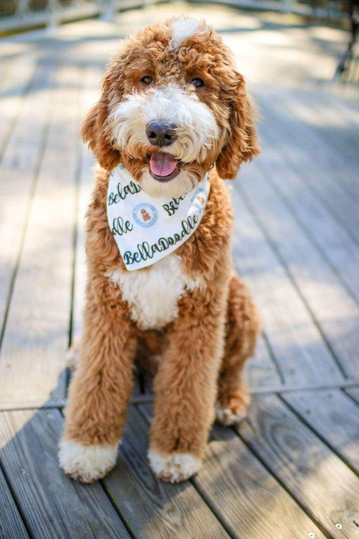 Cedar goldendoodles belladoodles dog readiness
