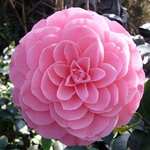 Camellia Flowers Seeds Potted Plants Home Garden Decorations Flower Seeds 10pcs Pack In 2020 Flower Seeds Flowers Climbing Plants