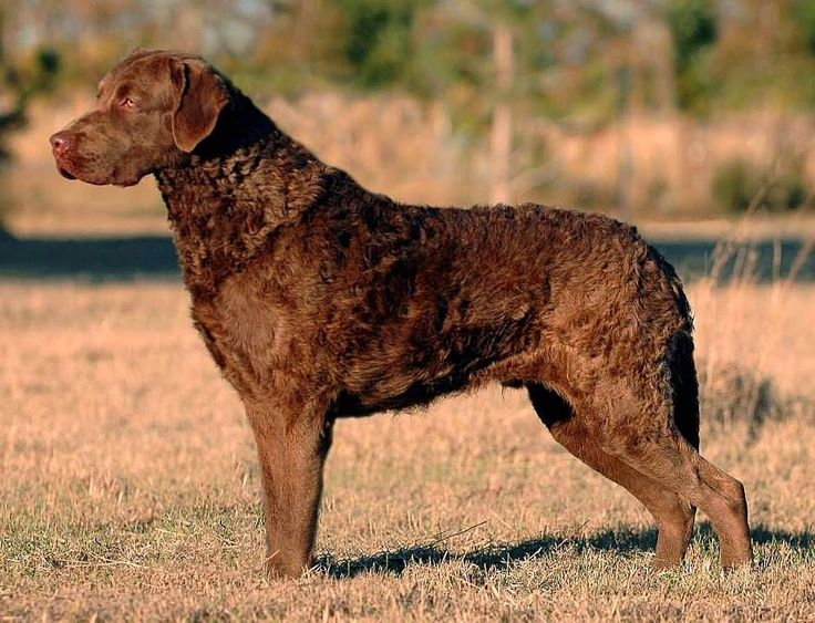 Chesapeake Bay Retriever : Dog Breeds Pictures!