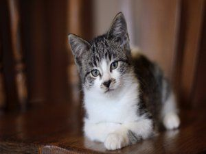Un lindo gatito gris y blanco