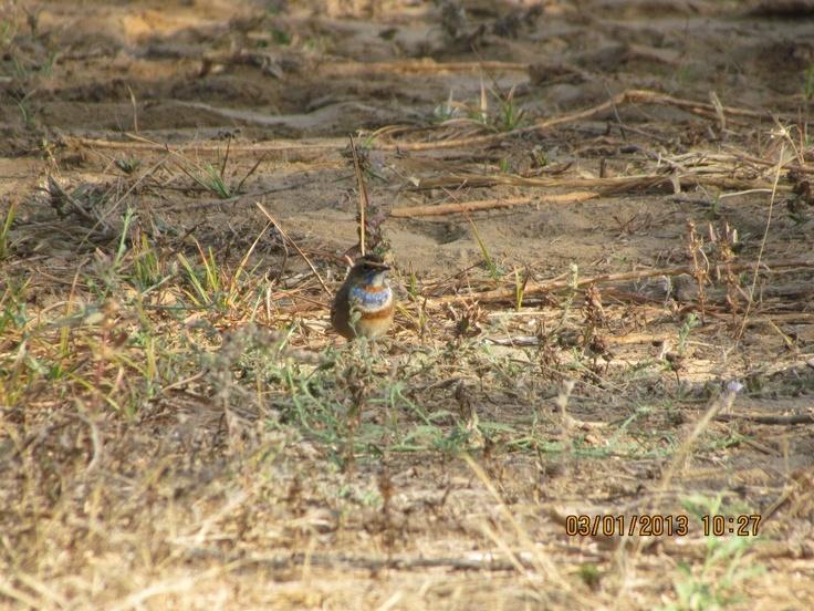 Bluethroat, adult male, Greater Rann of Kutch.