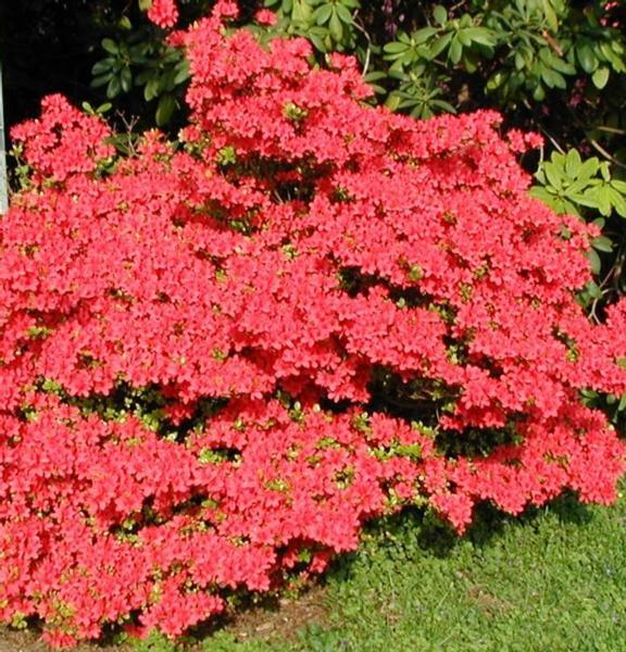 17 best ideas about azalea bush on pinterest flowering - Muri da giardino ...