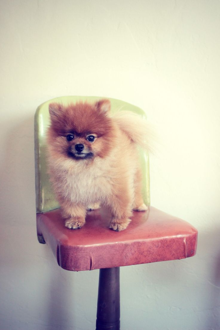 New vintage antique barstools from Empire Antiques in Placerville and Wolfgang the Pomeranian!