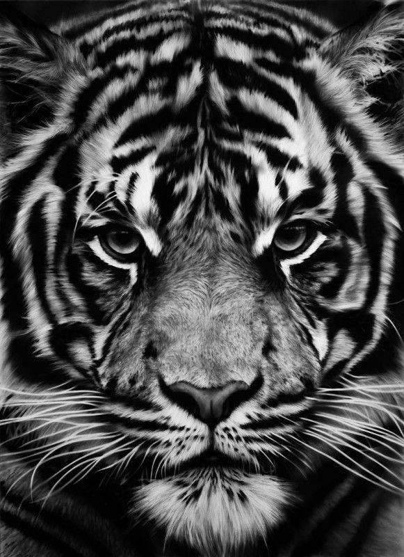 "prounovis:  ""Tiger"" charcoal on paper. -Artist:Robert Longo -via:http://www.pbart.com/robert-longo-black-and-white-nuremberg-germany/"