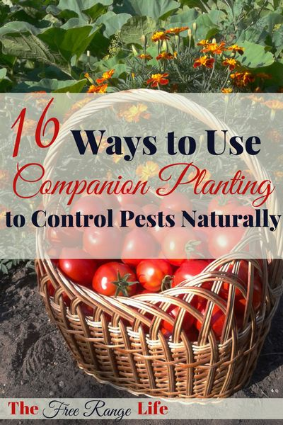 Organic pest control! Great ideas on how to use companion planting to control pests naturally in the garden!