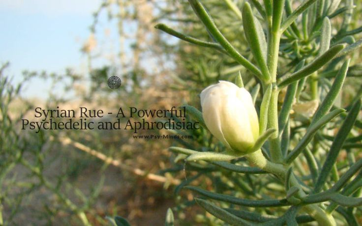 Syrian Rue  A Powerful Psychedelic and Aphrodisiac - @psyminds17