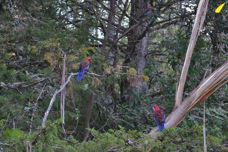 3-peroquets-montagnes-bleues