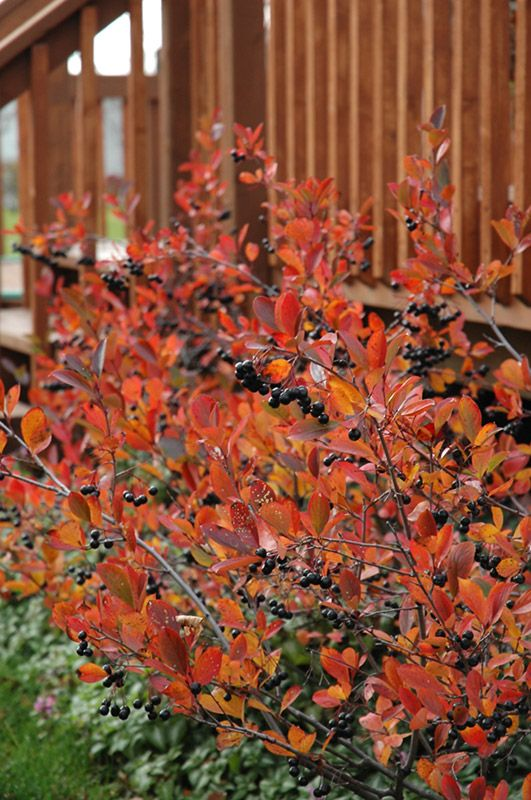 Autumn Magic Black Chokeberry shrub (color and berries in fall, little white flowers in spring)