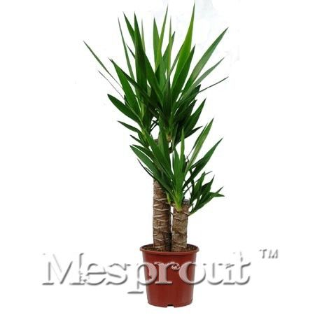 50PCS  Yucca Seeds Bonsai Flower Seeds Outdoor Garden Plants Germination Rate Of 98% Potted Plant Home Gift Seed Pots