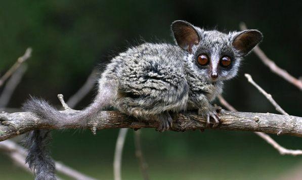 20 Best Bushbaby Images On Pinterest Primate Primates
