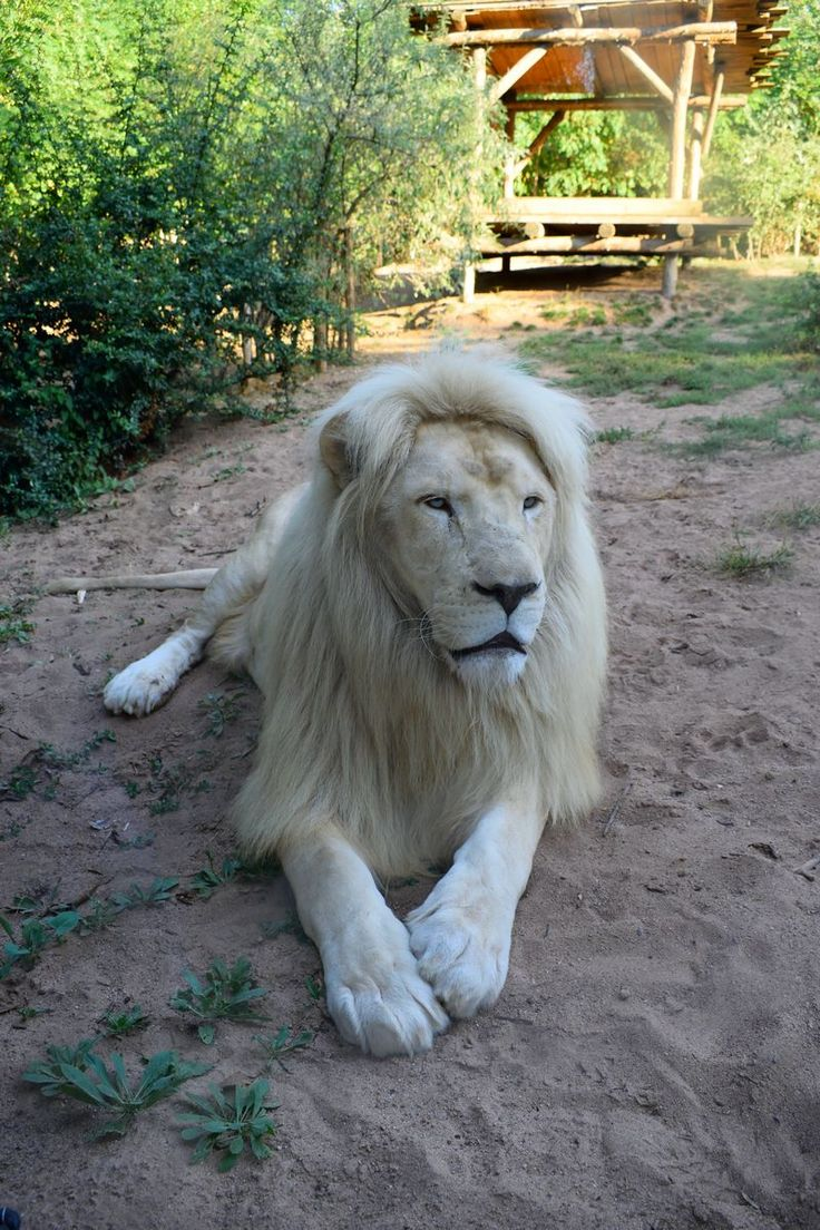 lion blanc male zoo amneville