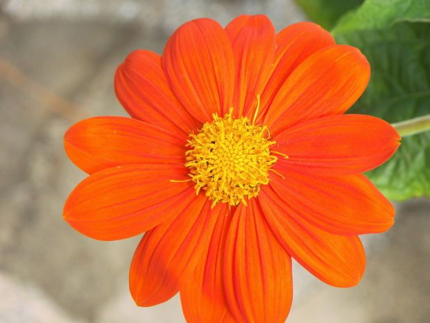 Types Of Orange Flowers Wonderful World Color Pinterest Mexican Sunflower