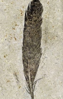 Fossil feather from the dinosaur-era Archaeopteryx