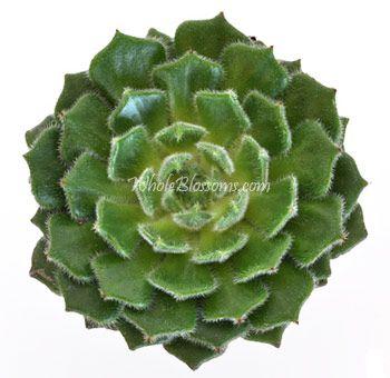 succulent wedding flowers | Wholesale Succulents | Buy Fresh Cut Succulent Flowers for Weddings
