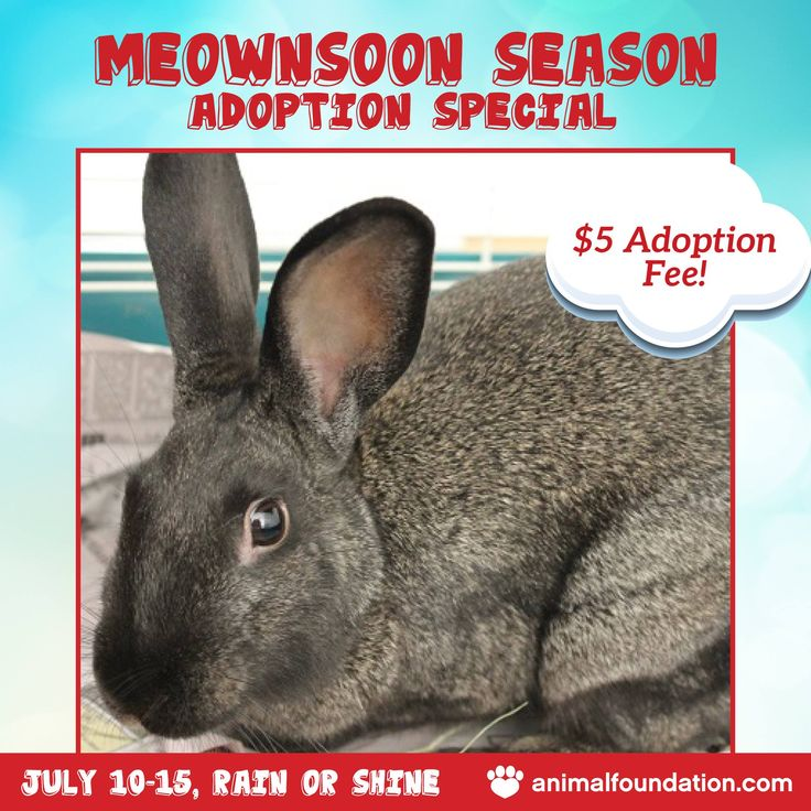 Only 2 days left to take advantage of our Meownsoon Season Adoption Special! What are you waiting for?  Visit our Campus Adoption Center (655 N. Mojave Road) today to meet great pets like Congo (A780375), a 9-month-old male Shorthaired Rabbit! Adoption fees for all rabbits are just $5 through tomorrow only! Plus, you can take 50% off adoption fees for kittens or get your adoption fee waived for adult cats! Visit animalfoundation.com/events for details!