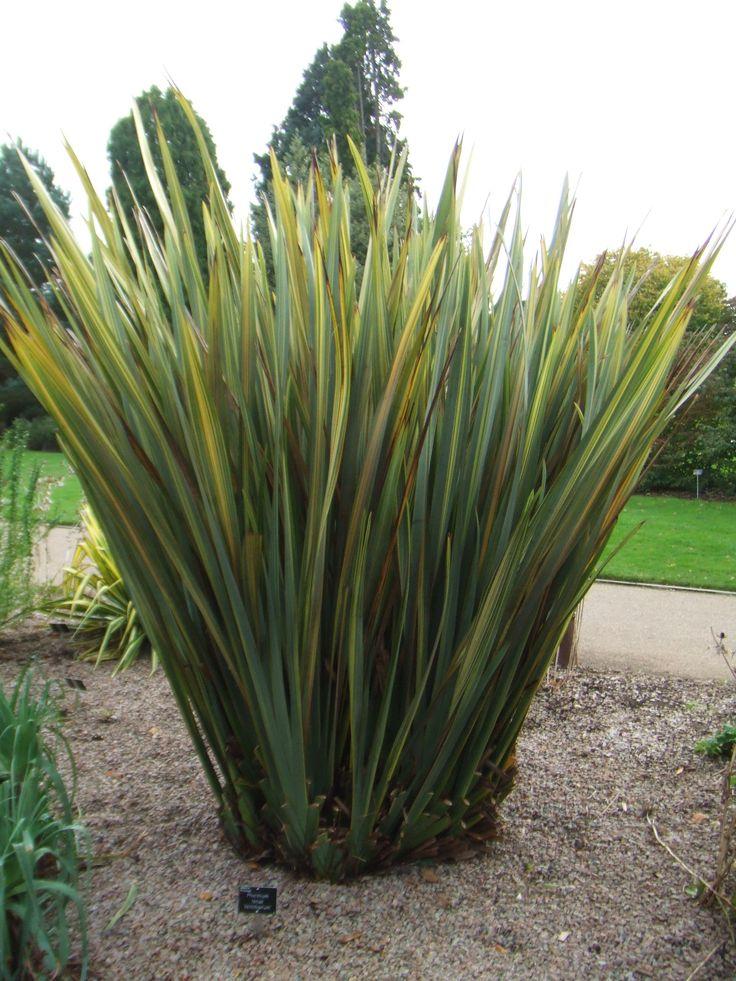 phormium tenax | jungle | New zealand flax, Plants ...