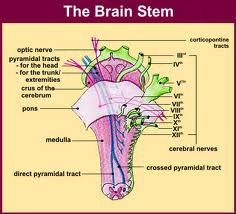 Function: The brainstem controls several important functions of the body including: Alertness Arousal Breathing Blood Pressure Digestion Heart Rate Other Autonomic Functions Relays Information Between the Peripheral Nerves and Spinal Cord to the Upper Parts of the Brain Directionally, the brainstem is located at the juncture of the cerebrum and the spinal column. It is anterior to the cerebellum.