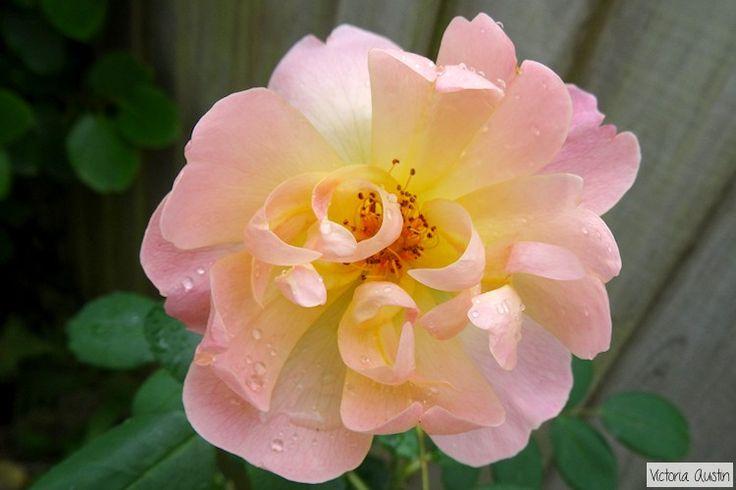 peachy pink rose