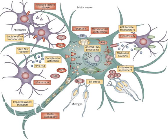 25 Best Ideas About Motor Neuron On Pinterest Nervous