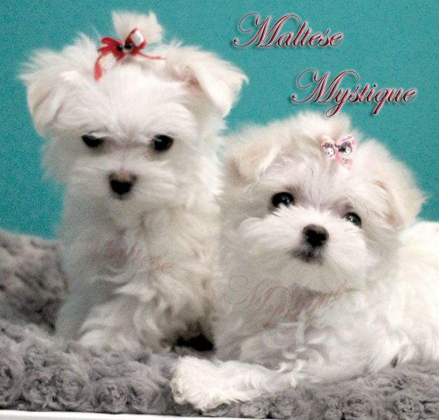 shih tzu mystique 47 best images about maltese breeders on pinterest heart 2601