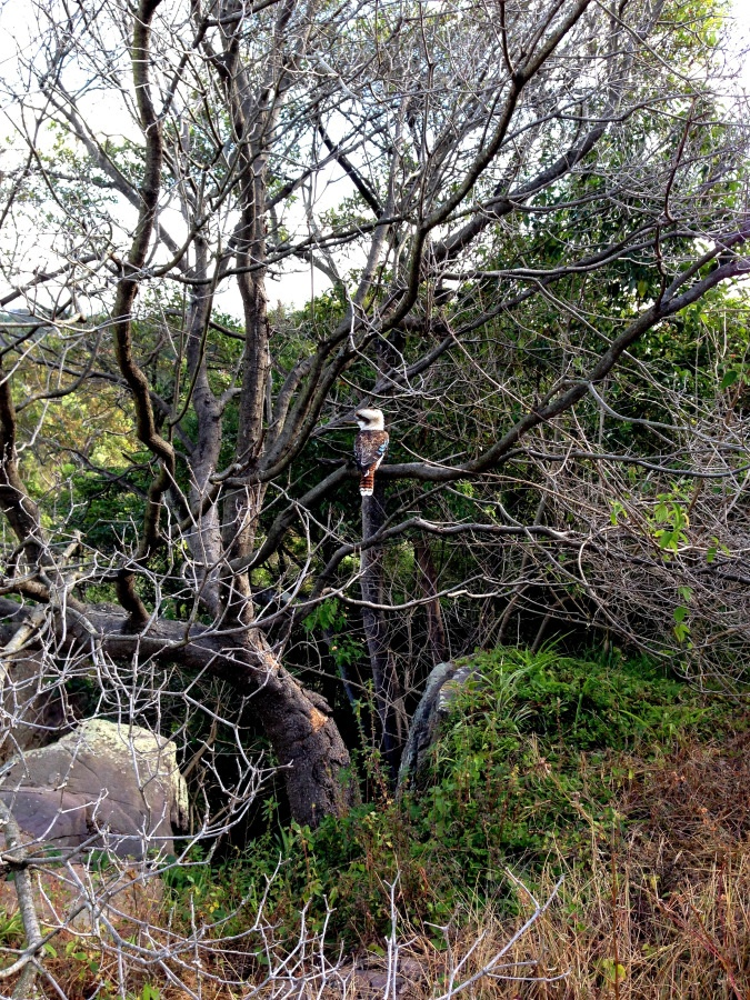Kookaburra sits in the old gumtree