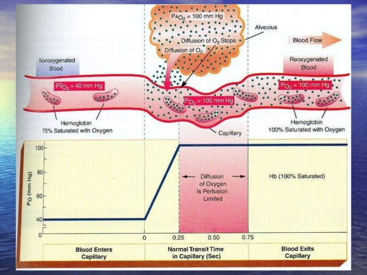 gas exchange in humans pdf
