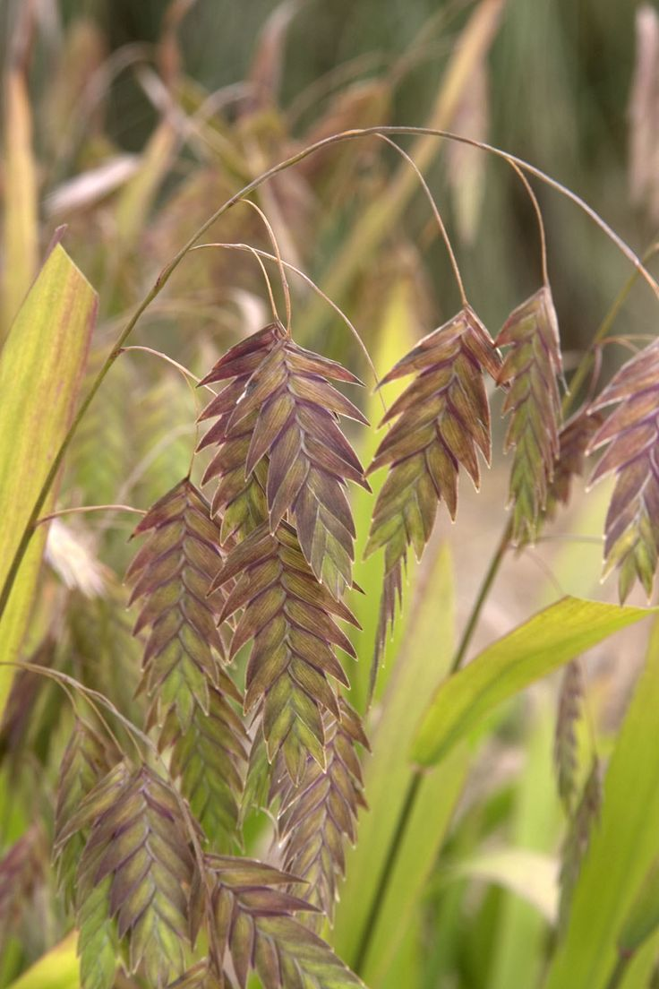 24 best pond plants images on pinterest pond plants water