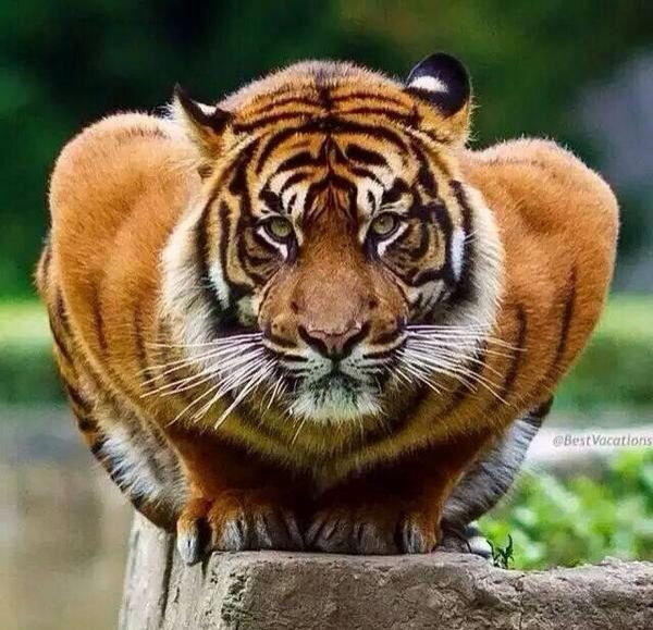 Serious tiger is serious
