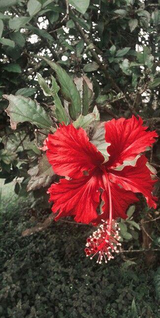Flor de cayeno
