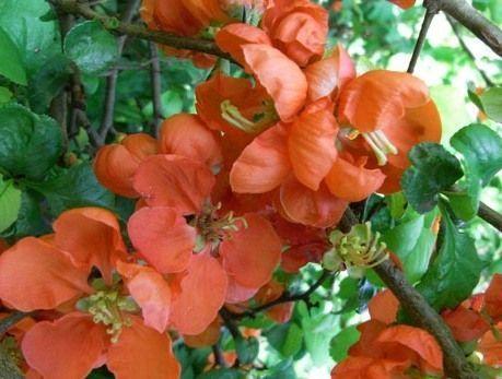 Pigwowiec okazały 'ORANGE TRAIL' Chaenomeles x superba C3/40cm - Future Gardens