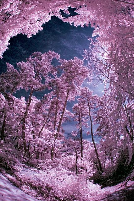 Infrared Woods Over Bessho Onsen: Photos, Japan, Pink Sky, Colors, Beautiful Places, Trees, Bessho Onsen, Onsen Forests, Nature Scene