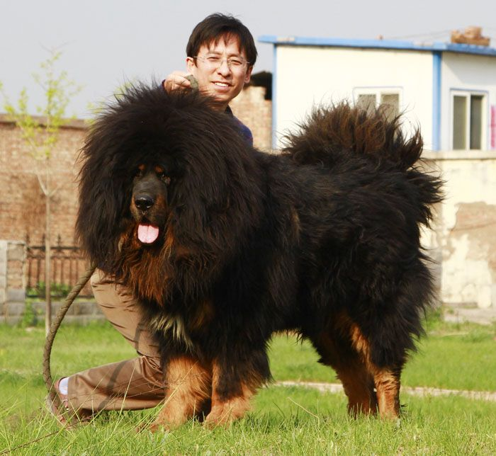 62 best images about Tibetan Mastiffs & Caucasian Ovcharka ...