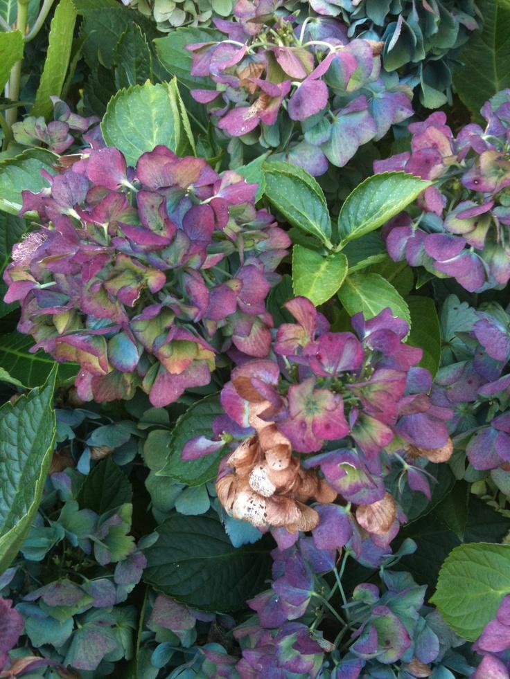 hydrangea in my yard Hydrangea, Garden, Plants