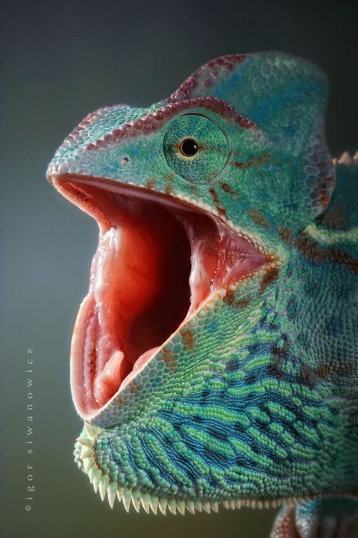 17 Best Ideas About Chameleons On Pinterest Lizards Baby