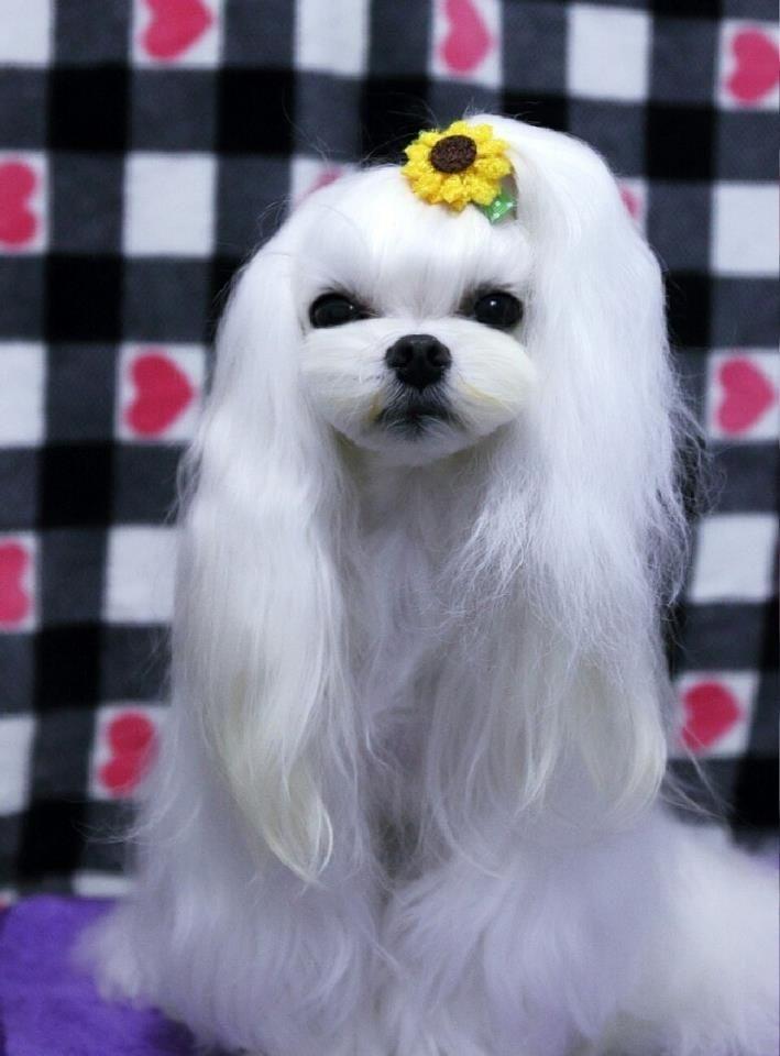 21 best Maltese Korean hair cut images on Pinterest Hair