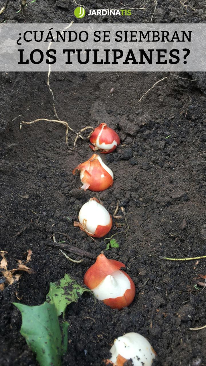 Como Sembrar Tulipanes