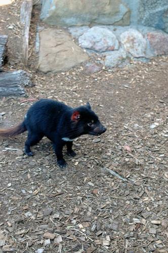 Tasmanian Devil - Wildlife Park - Tasmania, Australia