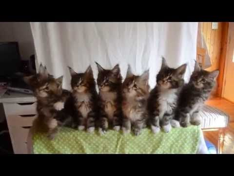 """A breeder at Triskel Maine Coon cattery in Quebec decided to record a video while moving an object in front of the kittens, and the result is simply adorable.   These Adorable Kittens Dancing In Unison Will Make You Say """"Awww"""""""