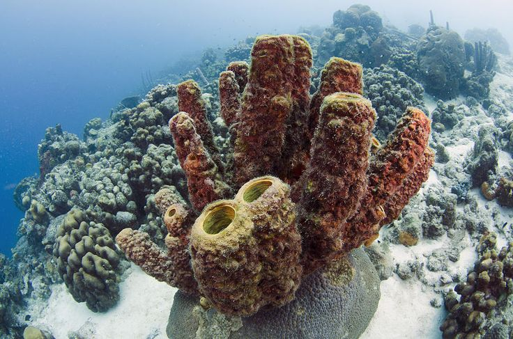 This tube shaped sponge is very important to the marine ecosystem. It provides a habitat for organisms it form a symbiont relationship with. It is also asexual Agelas conifera- Phylum Porifera