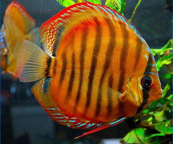 Alenquer Red Discus Fish